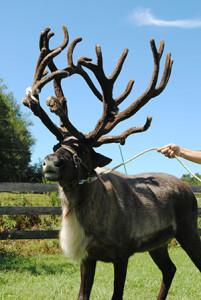 herr's xmas Starr_reindeer